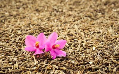 L'huile essentielle de cumin : 8 actions clés sur votre digestion